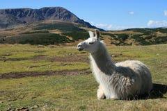 alpaca Arkivfoto