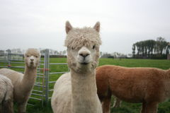 Free Alpaca Royalty Free Stock Photography - 61274727