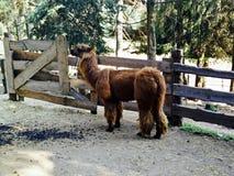 alpaca Fotografía de archivo libre de regalías