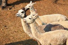 alpaca Royalty-vrije Stock Afbeelding