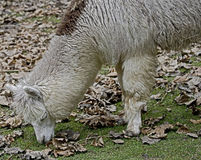 Alpaca 7 Royalty Free Stock Images
