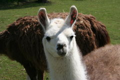 Free Alpaca Stock Photography - 722992