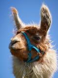 alpaca fotografia de stock royalty free