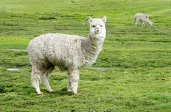 Free Alpaca Stock Photography - 77075702