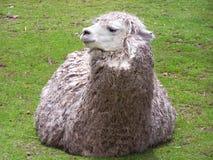alpaca Imagem de Stock