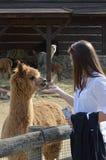 alpaca Stock Foto