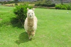 alpaca stock fotografie