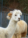Alpaca. Photo of two alpacas in a farm in London Stock Images