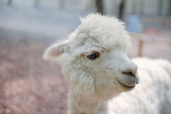 Free Alpaca Stock Photos - 92860123