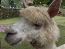 alpaca Foto de archivo