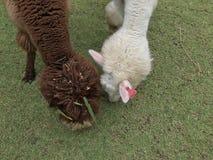 alpaca Foto de archivo libre de regalías