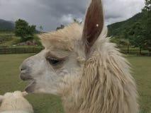 alpaca Imagenes de archivo
