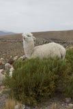 Alpaca achter een struik Stock Afbeeldingen