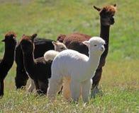 Alpaca adulta e giovane Fotografia Stock Libera da Diritti