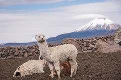 Alpaca against volcano Royalty Free Stock Photo