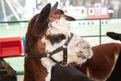 Alpaca all'azienda agricola giusta Immagine Stock
