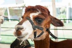 Alpaca all'azienda agricola giusta Immagini Stock Libere da Diritti