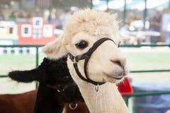 Alpaca all'azienda agricola giusta Fotografie Stock Libere da Diritti