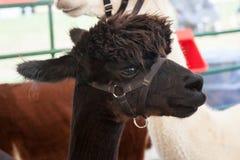 Alpaca all'azienda agricola giusta Fotografia Stock Libera da Diritti