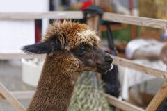 Alpaca. The animal of the camel family living in south america Royalty Free Stock Images