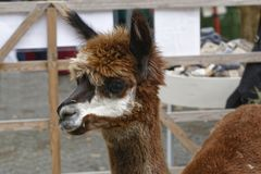 Alpaca. The animal of the camel family living in south america Stock Images