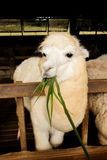Alpaca. S as tourist attraction animals in Thailand Stock Photos