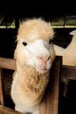 Alpaca. S as tourist attraction animals in Thailand royalty free stock image