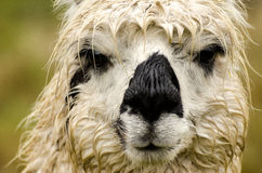 Alpaca. S in Peru in the Andes Royalty Free Stock Photography