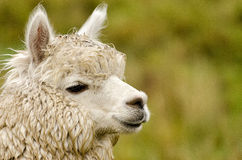 Alpaca. S in Peru in the Andes Royalty Free Stock Image