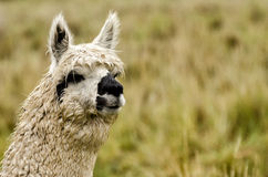 Alpaca. S in Peru in the Andes Stock Image