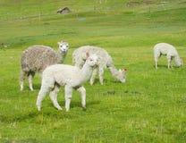 Alpaca at altiplano Stock Photos