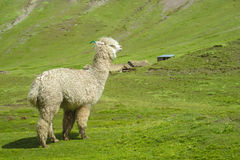 Alpaca at altiplano. Alpaca lama in the Andes beautiful altiplano landscape near mountain Royalty Free Stock Photo