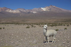 Alpaca on the  Altiplano of Northern Chile Stock Photos