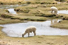 Alpacas royalty free stock photo