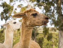 Alpaca. On an Australian farm eating some grass stock photos