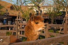 Alpaca in azienda agricola Immagini Stock