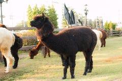 Alpaca in azienda agricola Fotografie Stock