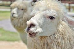 Alpaca in azienda agricola: Primo piano Fotografie Stock