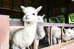 Alpaca in baan house at farm Royalty Free Stock Photos
