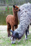 Alpaca baby Stock Photos