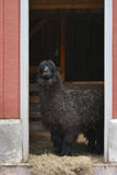 Alpaca in Barn Doorway Stock Photo