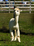 Alpaca in a barnyard enclosure Royalty Free Stock Photography
