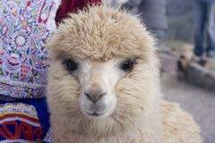 Alpaca bege Imagens de Stock Royalty Free