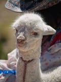 alpaca behandla som ett barn Royaltyfria Foton
