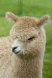 alpaca behandla som ett barn Arkivfoton