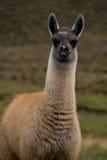 alpaca behandla som ett barn högväxt Fotografering för Bildbyråer