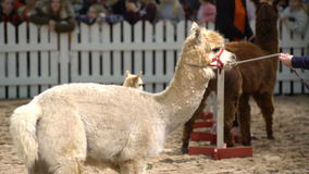 Alpaca-behandla som ett barn på djurshowen arkivfilmer