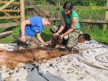 Alpaca being sheared on a UK Alpaca farm. ADLINGTON, CHESHIRE, UK: May 25 2014. Two female shearers giving a brown alpaca its annual shearing on an alpaca farm Stock Images