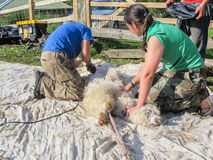 Alpaca being sheared on a UK Alpaca farm. ADLINGTON, CHESHIRE, UK: May 25 2014. Two female shearers giving a white alpaca its annual shearing on an alpaca farm Royalty Free Stock Photos
