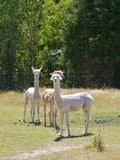 Alpaca bianca Fotografia Stock Libera da Diritti